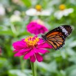 Monach butterfly on zinnia flower — Stock Photo
