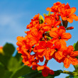 Cordia sebestena flower — Stock Photo