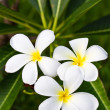 Plumeria flower and leaves on tree — Foto Stock