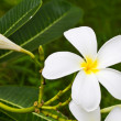 Plumeria flower on tree — Stock Photo