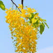 Golden shower flower — Stock Photo