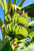 Bunch of bananas or Cultivated banana — Stock Photo