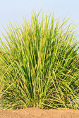 Lemon grass — Stock Photo