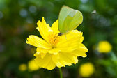 Butterfly on yellow cosmos flower — Stock Photo