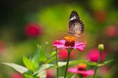 Leopard lacewing butterfly feeding on zinnia flower — Stock Photo