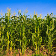 Stock Photo: Corn in farm against blue sky