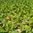 Stockfoto: Tobacco plant in farm