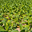 Stock Photo: Tobacco plant in farm