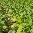 Tobacco plant in farm — Stockfoto #31981435