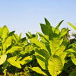 Stock Photo: Tobacco plant in field