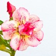 Desert rose on white background — Stock Photo
