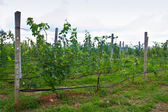 Vineyard in thailand — Stock Photo