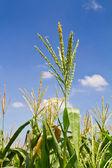 Corn flower in the farm against blue sky — Stock Photo