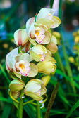 Ground orchid flower in the garden — Stock Photo