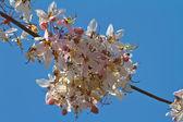 Pink cassia flower named Sakura of Thailand — Stock Photo
