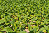 Tobacco plant in the farm — Stock Photo