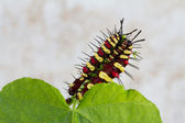 Caterpillars eating on green leaf — Stockfoto