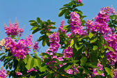 Lagerstroemia floribunda flower — Stock Photo