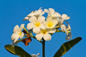 Plumeria flowers on blue sky background — Stock Photo