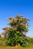 Lagerstroemia floribunda tree and flower on blue sky background — Stock Photo