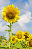 Sunflowers on cloudy day — Stock Photo