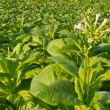 Stock Photo: Tobacco flowers farm