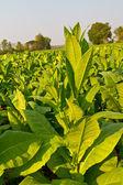 Tobacco plant in the farm — Stock Photo