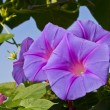 Stock Photo: Morning glory glower