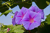 Morning glory glower — Stock Photo
