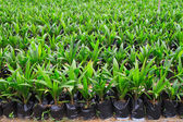 Young oil plant plants — 图库照片