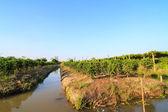 Sauropus androgynus or sweet leaf farm — Stock Photo