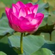 Pink lotus — Stock Photo