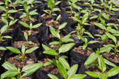 Young catharanthus roseus plants — Stockfoto