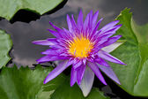 Paarse waterlily — Stockfoto