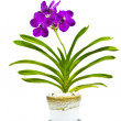 Purple orchid, Vanda — Stock Photo