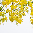Flowers of golden shower tree — Stock Photo