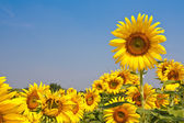 Sunflowers and blue sky in background — Stock Photo