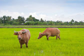 Water buffalo in a field — Stock Photo