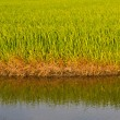 Rice paddy and reflection in water — Stock Photo