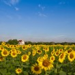 Temple in sunflower field  — Stock Photo