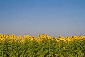 Sunflower farm against blue sky — Stock Photo