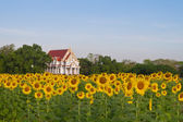 Sunflower farm and temple — Stockfoto