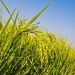 Rice field againt blue sky — Stock Photo