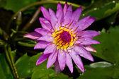 Purple waterlily — Stock Photo