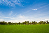 Rice paddy and blue sky — Foto Stock