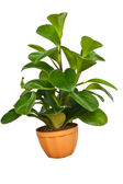 House plant isolated on white background — Stock Photo