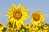 Sunflower farm — Stock Photo