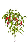Chili plant on white background — Stock Photo