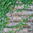 Green Creeper Plant growing on a brick wall — Stock Photo
