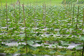 Cucumber farm — Stockfoto